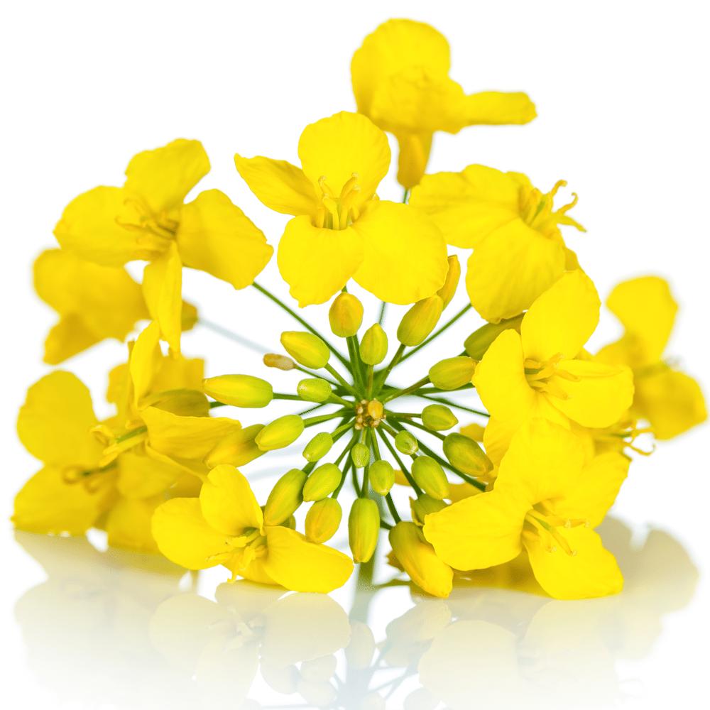 focus-fleur-de-colza-les-bains-d-hygie-massages-et-spa-bio-3